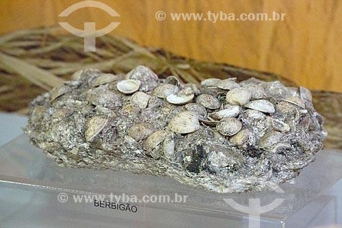 Detalhe de pedaço de sambaqui com conchas de berbigão (Trachycardium muricatum) em exibição no Museu Arqueológico de Sambaqui de Joinville  - Joinville - Santa Catarina (SC) - Brasil