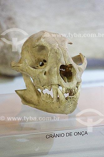 Detalhe de crânio de onça pintada (Panthera onca) em exibição no Museu Arqueológico de Sambaqui de Joinville  - Joinville - Santa Catarina (SC) - Brasil