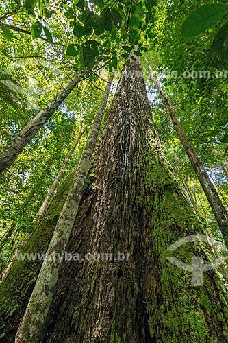 Castanheira (castanea sativa) na Reserva de Desenvolvimento Sustentável do Iratapuru  - Laranjal do Jari - Amapá (AP) - Brasil