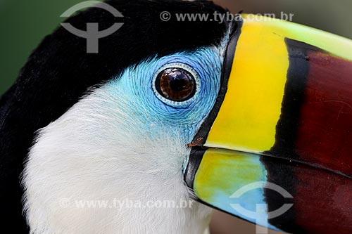 Detalhe de tucano-de-peito-branco (Ramphastos tucanus)  - Manaus - Amazonas (AM) - Brasil