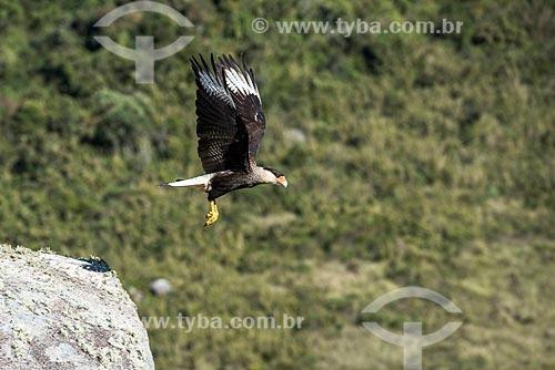 Detalhe de carcará (Polyborus plancus) na Serra da Mantiqueira - Parque Nacional de Itatiaia  - Itatiaia - Rio de Janeiro (RJ) - Brasil