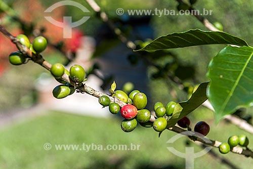 Detalhe de grãos de café ainda no cafezal  - Resende - Rio de Janeiro (RJ) - Brasil