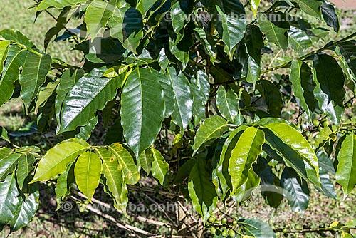 Detalhe de folhas de cafezal  - Resende - Rio de Janeiro (RJ) - Brasil