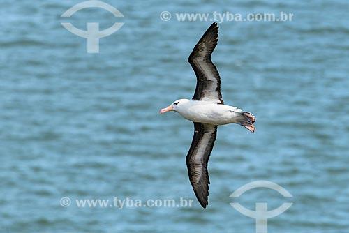 Detalhe de albatroz-de-sobrancelha (Thalassarche melanophris) voando no Estrecho de Magallanes (Estreito de Magalhães)  - Província Terra do Fogo - Chile