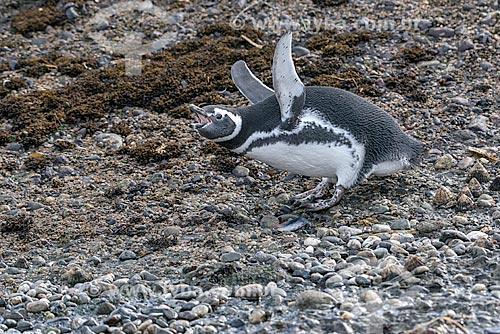 Detalhe de pinguim-de-magalhães (Spheniscus magellanicus) no Estrecho de Magallanes (Estreito de Magalhães)  - Província Terra do Fogo - Chile