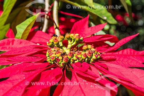 Detalhe de flores de poinsétia (Euphorbia pulcherrima)  - Resende - Rio de Janeiro (RJ) - Brasil