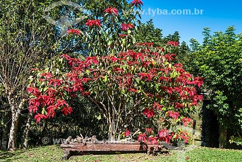 Flores de poinsétia (Euphorbia pulcherrima)  - Resende - Rio de Janeiro (RJ) - Brasil