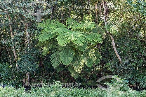 Detalhe de samambaiaçu (Dicksonia selowiana)  - Resende - Rio de Janeiro (RJ) - Brasil