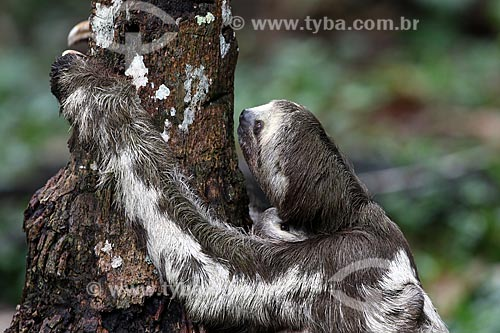 Detalhe de bicho-preguiça na floresta amazônica  - Manacapuru - Amazonas (AM) - Brasil