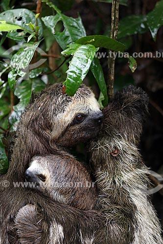 Detalhe de bicho-preguiça e filhote na floresta amazônica  - Manacapuru - Amazonas (AM) - Brasil