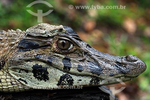 Detalhe simbiose entre jacaré-açu (Melanosuchus niger) e perereca  - Manacapuru - Amazonas (AM) - Brasil