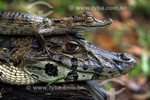 Detalhe de jacaré-açu (Melanosuchus niger) e filhote na Lagoa Ubim  - Manacapuru - Amazonas (AM) - Brasil