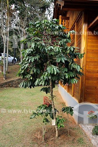 Cafezal em fazenda na zona rural do distrito de Aracê  - Domingos Martins - Espírito Santo (ES) - Brasil