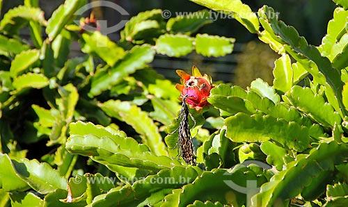 Detalhe de plantação pitaia (Hylocereus)  - Espírito Santo (ES) - Brasil