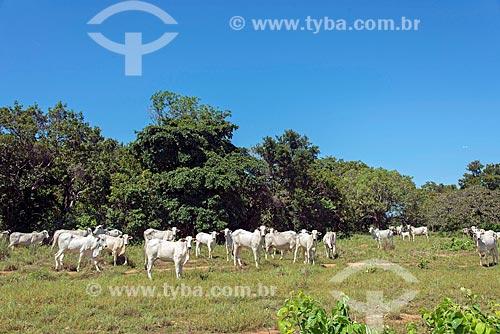 Gado nelore no pasto  - Palmas - Tocantins (TO) - Brasil