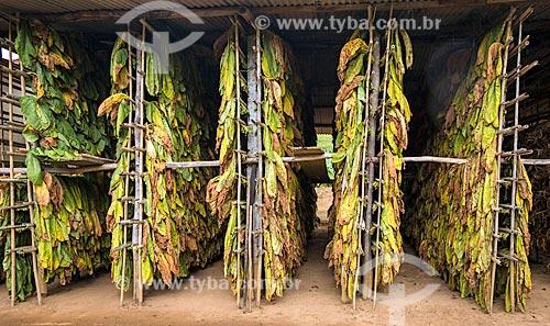 Folhas de tabaco secando após a colheita na zona rural da cidade de Guarani  - Guarani - Minas Gerais (MG) - Brasil