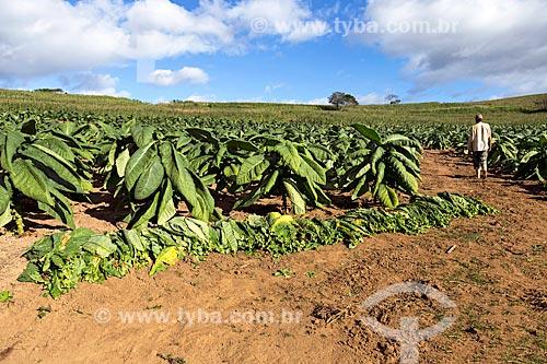 Colheita de folhas de tabaco na zona rural da cidade de Guarani  - Guarani - Minas Gerais (MG) - Brasil