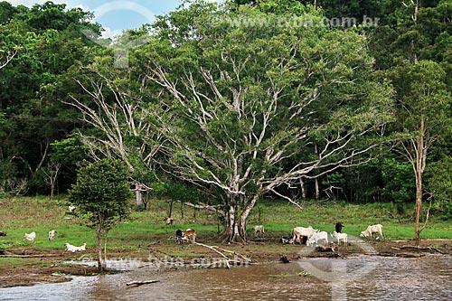 Gado pastando às margens do Rio Amazonas próximo à Itacoatiara  - Itacoatiara - Amazonas (AM) - Brasil