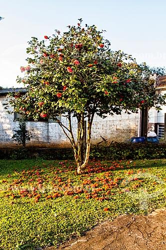 Chão coberto por flores de camélia (Camellia japonica)  - Treze Tílias - Santa Catarina (SC) - Brasil