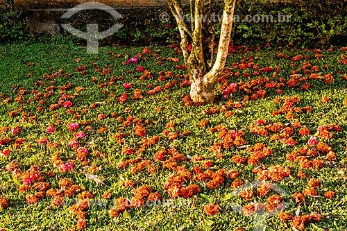 Detalhe de chão coberto por flores de camélia (Camellia japonica)  - Treze Tílias - Santa Catarina (SC) - Brasil