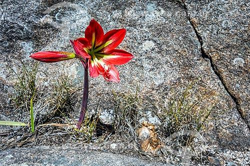 Detalhe de lírio vermelho (Knights star lily) na Parque Nacional de Itatiaia  - Itatiaia - Rio de Janeiro (RJ) - Brasil