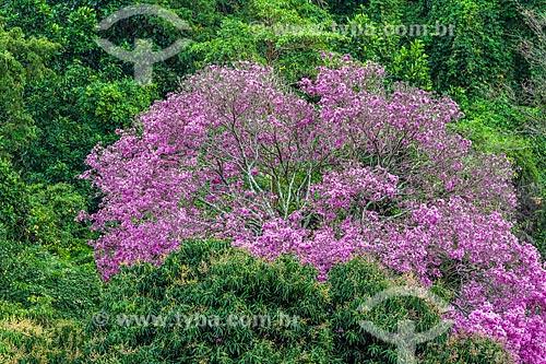 Detalhe de Ipê Rosa (Tabebuia heptaphylla)  - Rio de Janeiro - Rio de Janeiro (RJ) - Brasil