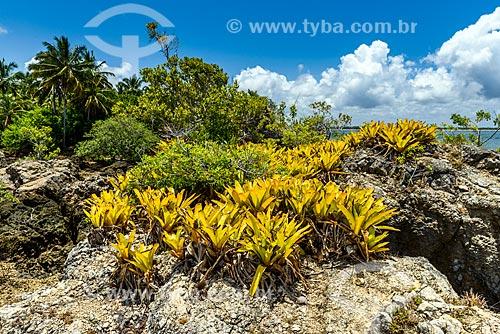 Bromélia na ilha da Pedra Furada  - Camamu - Bahia (BA) - Brasil