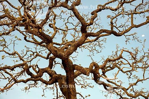 Detalhe de árvore seca no cerrado com a lua no fundo  - São Roque de Minas - Minas Gerais (MG) - Brasil