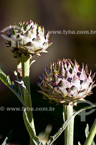 Detalhe de alcachofra (Cynara cardunculus)  - São Francisco de Paula - Rio Grande do Sul (RS) - Brasil