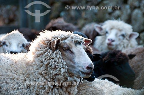 Detalhe de ovelha da raça crioula em fazenda  - São Francisco de Paula - Rio Grande do Sul (RS) - Brasil