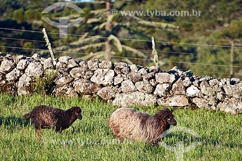 Rebanho de ovelhas da raça crioula em fazenda  - São Francisco de Paula - Rio Grande do Sul (RS) - Brasil