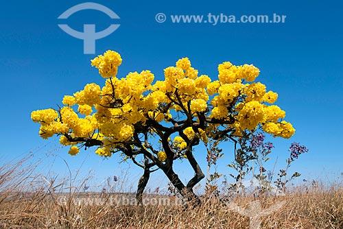 Vista de ipê-amarelo no Parque Nacional da Serra da Canastra  - São Roque de Minas - Minas Gerais (MG) - Brasil