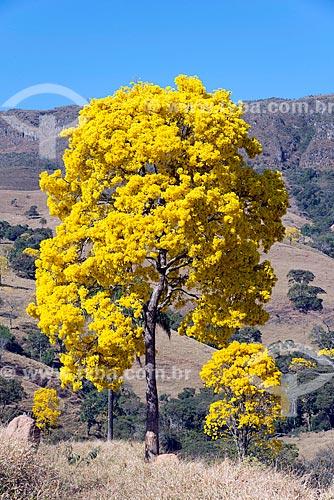 Detalhe de ipê-amarelo na zona rural da cidade de São Roque de Minas  - São Roque de Minas - Minas Gerais (MG) - Brasil