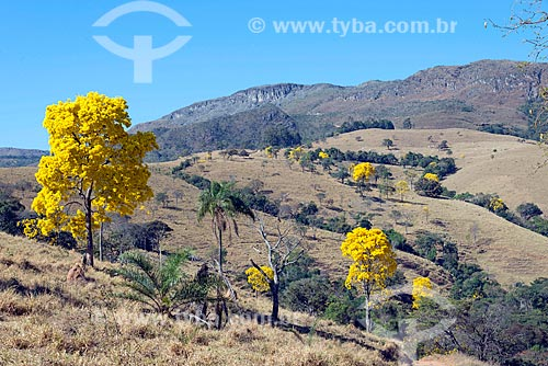 Ipês-Amarelo na zona rural da cidade de São Roque de Minas  - São Roque de Minas - Minas Gerais (MG) - Brasil