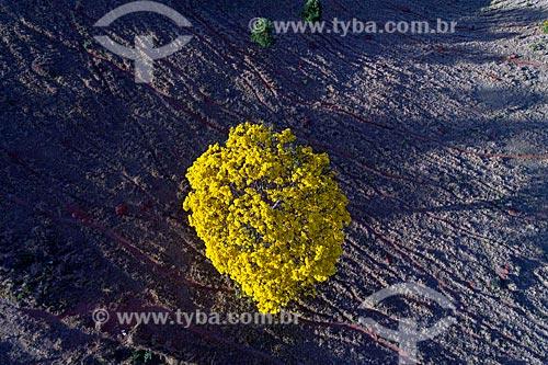 Foto feita com drone de Ipê-Amarelo na zona rural da cidade de São Roque de Minas  - São Roque de Minas - Minas Gerais (MG) - Brasil