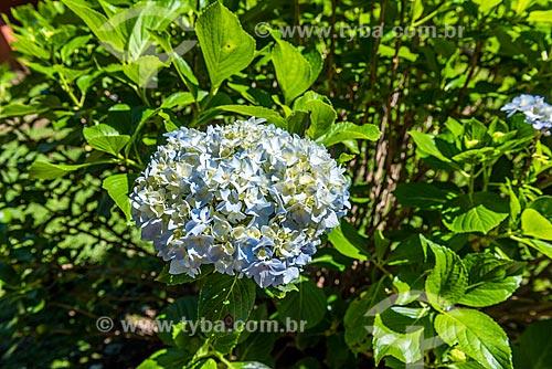 Detalhe de hortênsia (Hydrangea macrophylla) no Parque Nacional da Serra da Canastra  - Canela - Rio Grande do Sul (RS) - Brasil