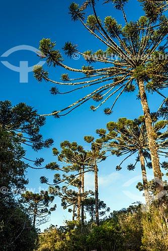 Detalhe de araucárias (Araucaria angustifolia) no Parque Nacional dos Aparados da Serra  - Cambará do Sul - Rio Grande do Sul (RS) - Brasil