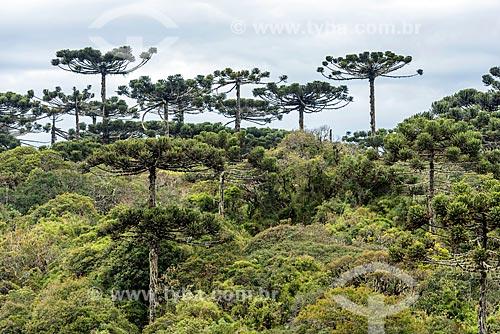 Vista de araucárias (Araucaria angustifolia) durante a trilha do vértice no Parque Nacional dos Aparados da Serra  - Cambará do Sul - Rio Grande do Sul (RS) - Brasil