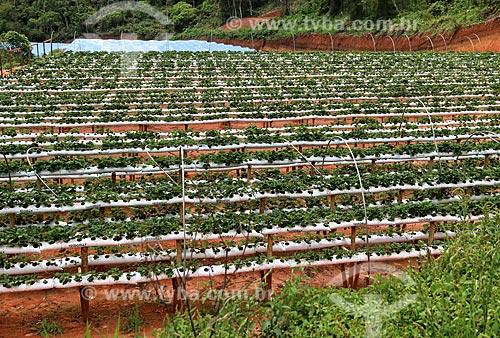 Plantação de morangos  - Nova Friburgo - Rio de Janeiro (RJ) - Brasil