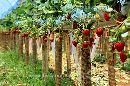 Detalhe de morangos ainda no morangueiro (Fragaria)  - Nova Friburgo - Rio de Janeiro (RJ) - Brasil