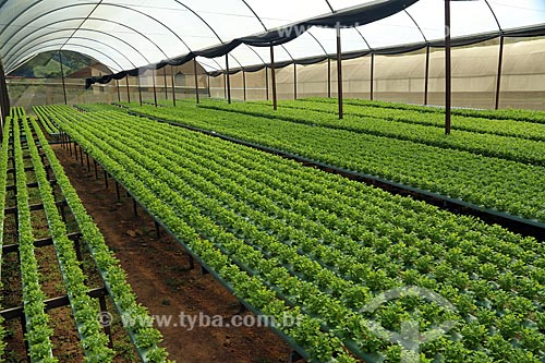Plantação de coentro (Coriandrum sativum) em estufa  - Nova Friburgo - Rio de Janeiro (RJ) - Brasil