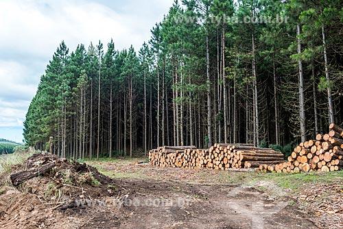 Pilha de troncos e plantação de pinheiros próximo à cidade de São José dos Ausentes  - São José dos Ausentes - Rio Grande do Sul (RS) - Brasil