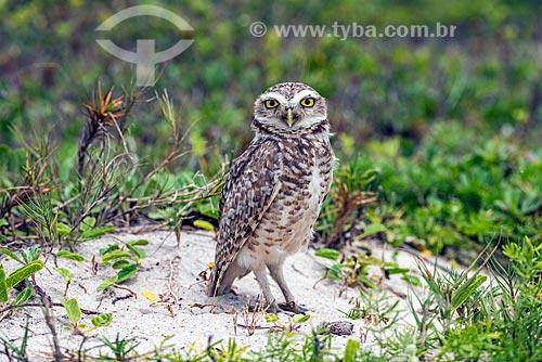 Coruja-buraqueira (Athene cunicularia, anteriormente Speotyto cunicularia) - também conhecida como caburé-do-campo ou coruja-do-campo - na orla da Praia Mole  - Florianópolis - Santa Catarina (SC) - Brasil