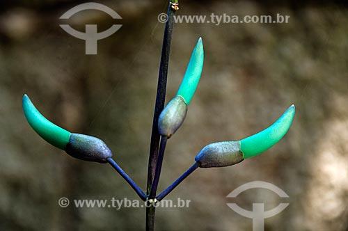 Detalhe de trepadeira Jade (Strongylodon macrobotrys)  - Niterói - Rio de Janeiro (RJ) - Brasil