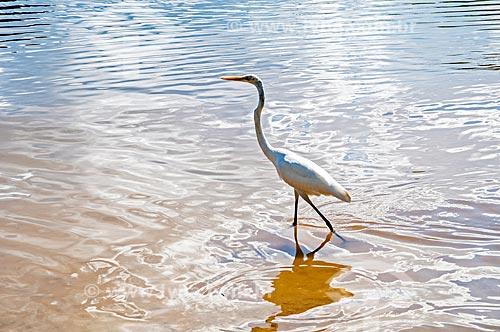 Garça-branca-grande (Ardea alba) na Praia de Jurujuba  - Niterói - Rio de Janeiro (RJ) - Brasil