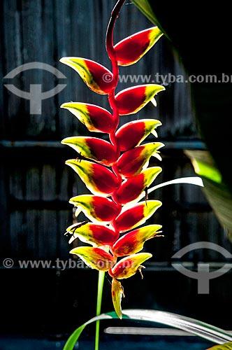Detalhe de heliconia (Heliconia rostrata)