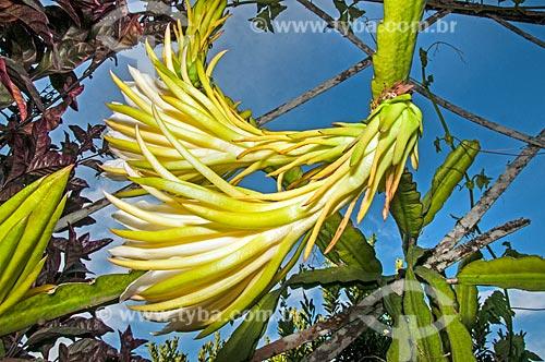 Detalhe de flor do cacto rainha-da-noite (Hylocereus undatus)  - Niterói - Rio de Janeiro (RJ) - Brasil