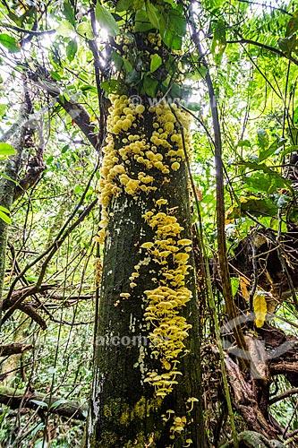 Cogumelo amarelo em tronco de árvore na Parque Nacional da Serra dos Órgãos  - Guapimirim - Rio de Janeiro (RJ) - Brasil