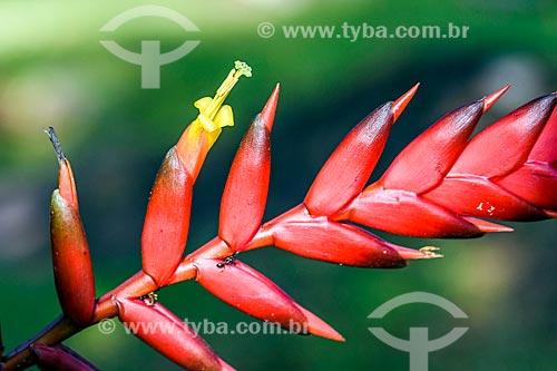 Detalhe de Içara (Euterpe edulis Martius) - também conhecida como juçara, jiçara ou palmito-juçara - na Área de Proteção Ambiental da Serrinha do Alambari  - Resende - Rio de Janeiro (RJ) - Brasil
