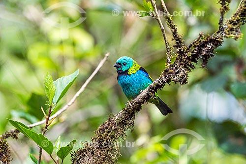 Detalhe de Saíra-sete-cores (Tangara seledon) na Área de Proteção Ambiental da Serrinha do Alambari  - Resende - Rio de Janeiro (RJ) - Brasil